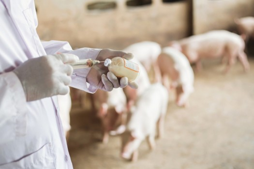 Farms,Pig,,Veterinary,Asians,Working,In,Pig,Farms.,Vaccinated,Pigs.