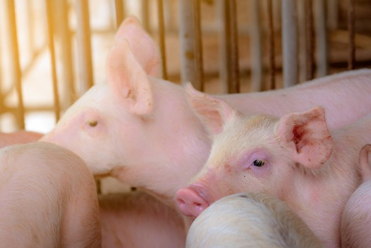 Cute,Piglet,In,Farm.,Happy,And,Healthy,Small,Pig.,Livestock