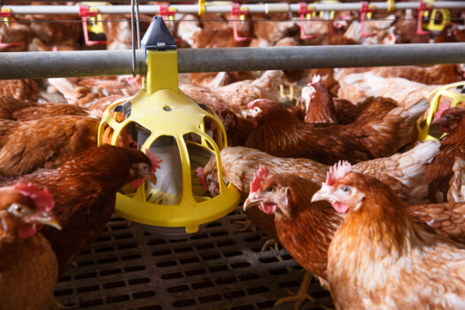 Farm,Chicken,In,A,Barn,,Eating,From,An,Automatic,Feeder.