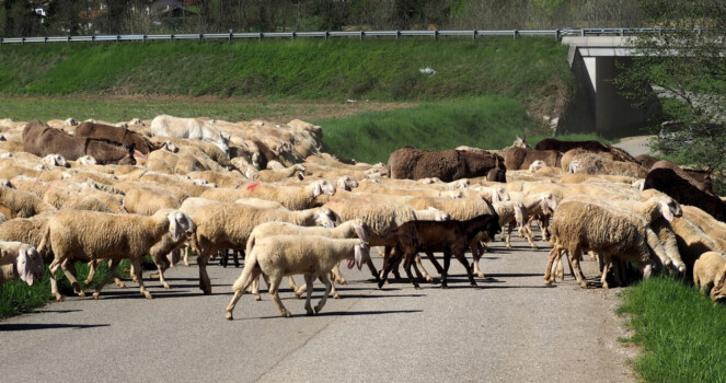 A,Flock,Of,Sheep,In,Transhumance,,With,Some,Donkeys,,Crosses