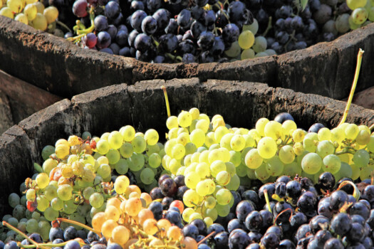 Harvesting,Grapes:,Ripe,Grapes,Inside,A,Bucket
