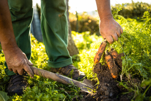 Senior,Gardener,Gardening,In,His,Permaculture,Garden,-,Harvesting,Carrots